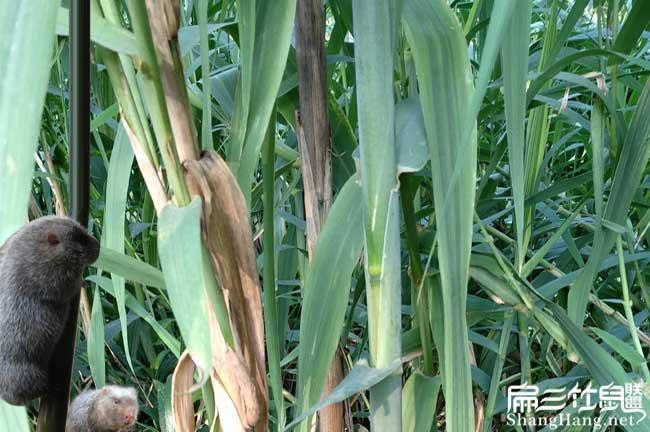 竹鼠皇竹草