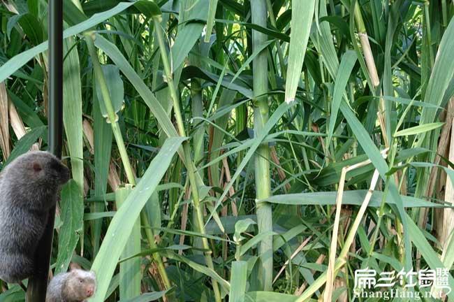 竹鼠食物资源