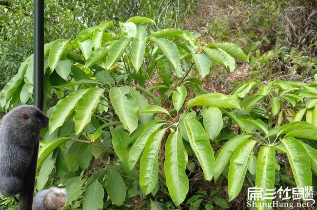 青海鸭脚木种植