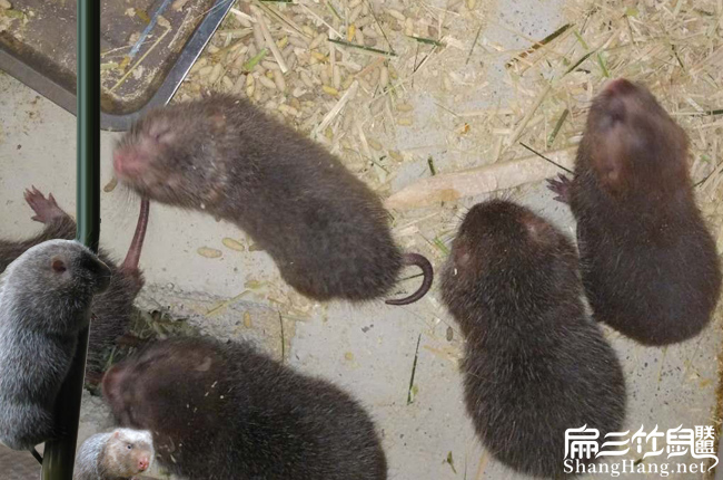 广东竹鼠种苗