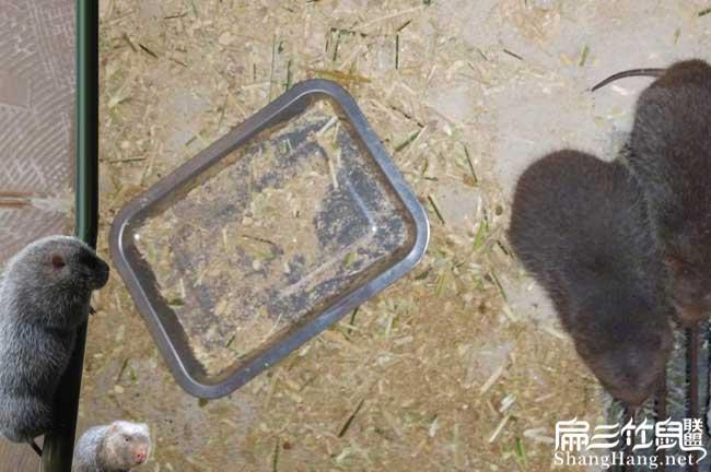 广东竹鼠基地
