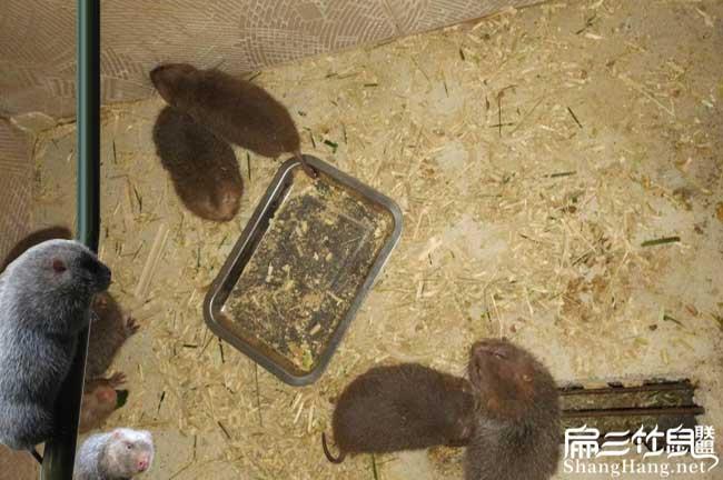上海竹鼠种苗