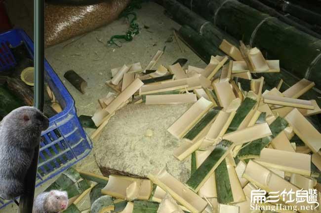 竹鼠吃竹片