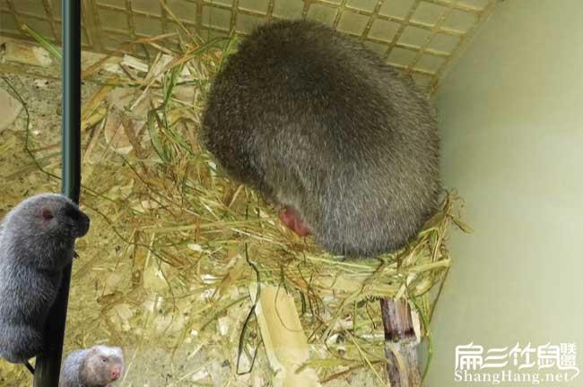 小竹鼠品种