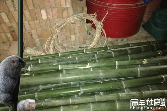 没有竹子可以养殖竹鼠吗?