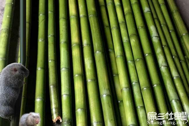 竹鼠吃的竹子品种