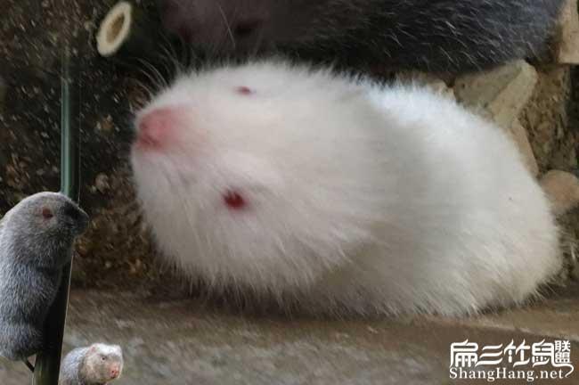白毛竹鼠太肥了