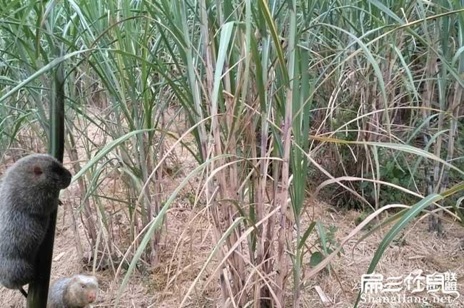 海南甘蔗种植基地