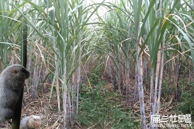甘肃甘蔗种植