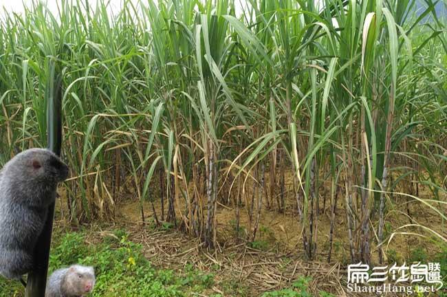 最新皇竹草种子