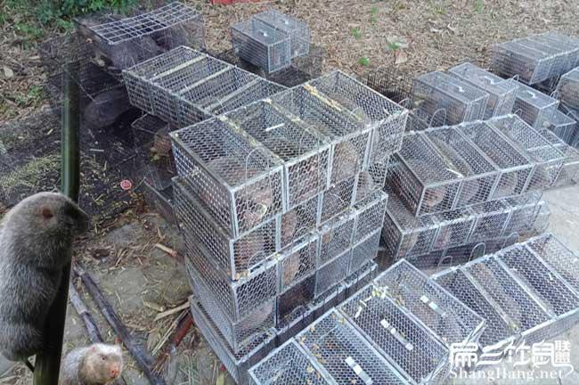 规模化养竹鼠