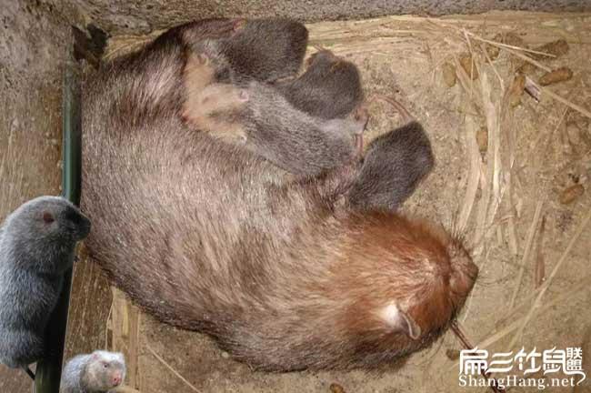 红颊竹鼠生产