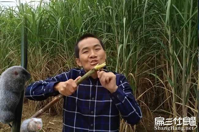 朝阳皇竹草种植