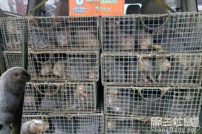 福建竹鼠养殖场