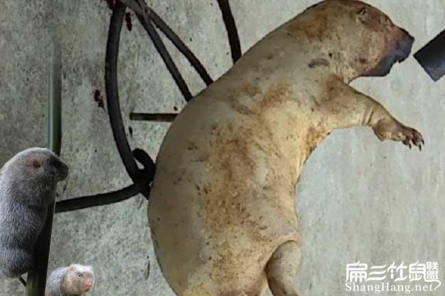 烤红颊竹鼠品种