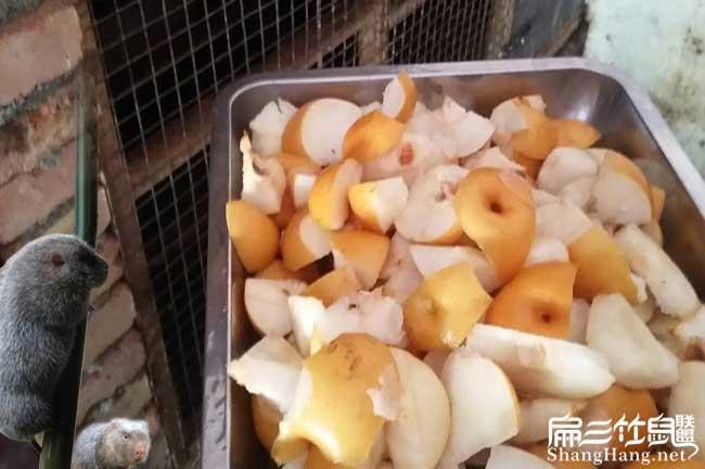 竹鼠吃梨子