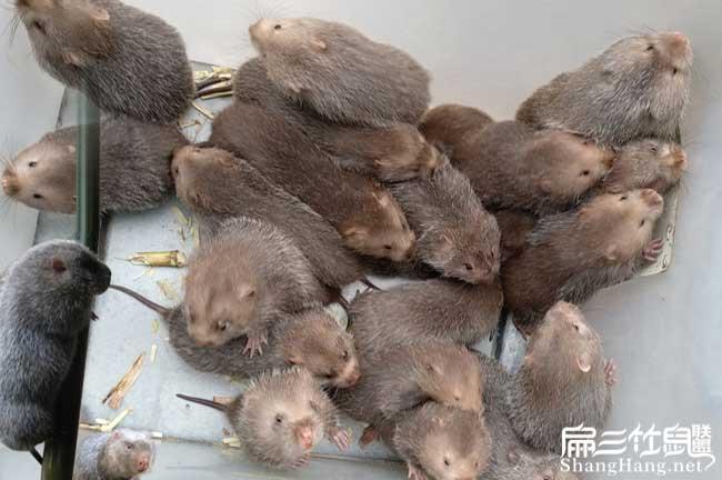 福建商品竹鼠