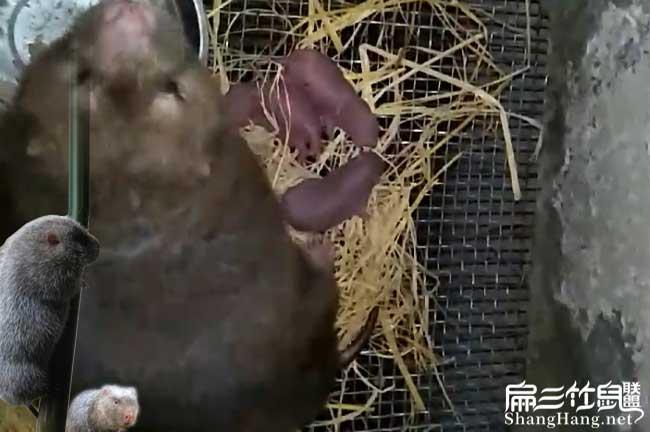 竹鼠种苗批发