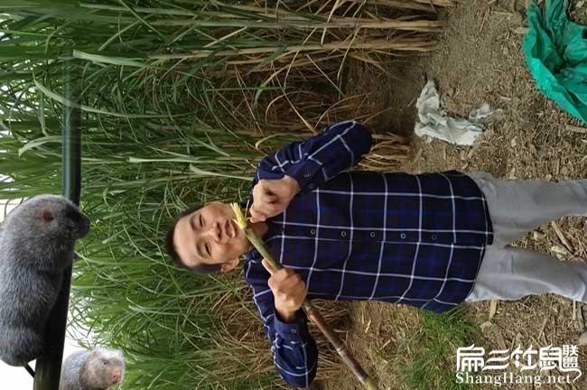 规模种植甘蔗