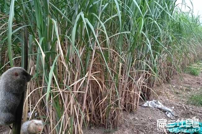 广西新型甘蔗