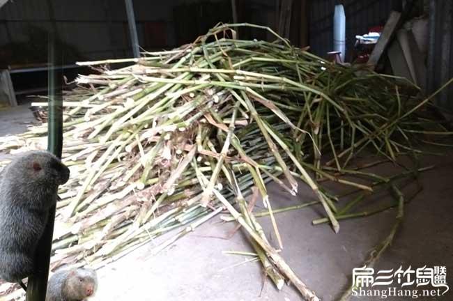 最新皇竹草种植
