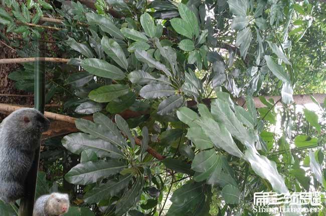 铁岭鸭脚木种植