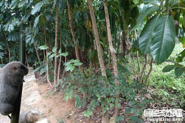 鸭脚木种植