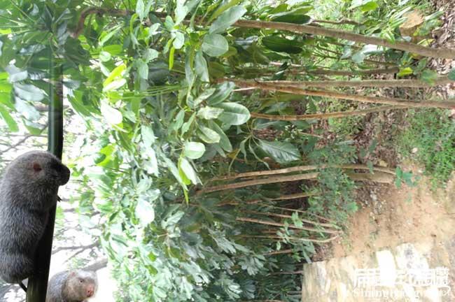 鸭脚木种苗