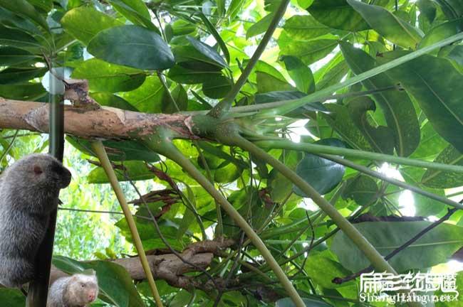 三亚鸭脚木种植