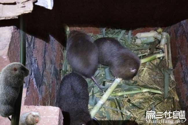 山西竹鼠养殖基地