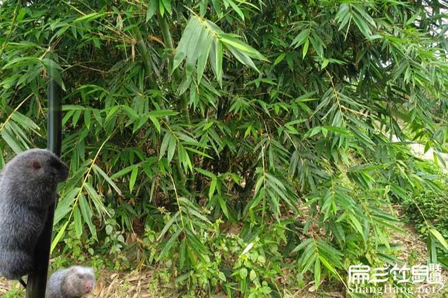 竹鼠养殖竹子