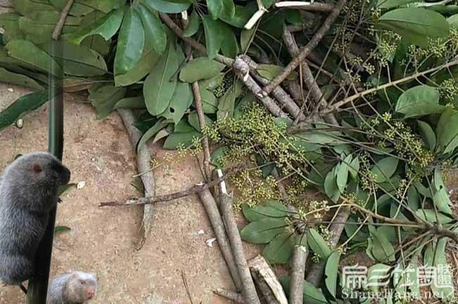 陕西竹鼠养殖