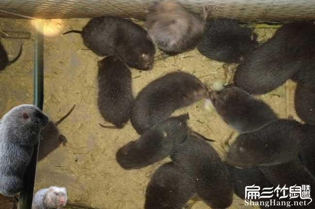 群养殖竹鼠