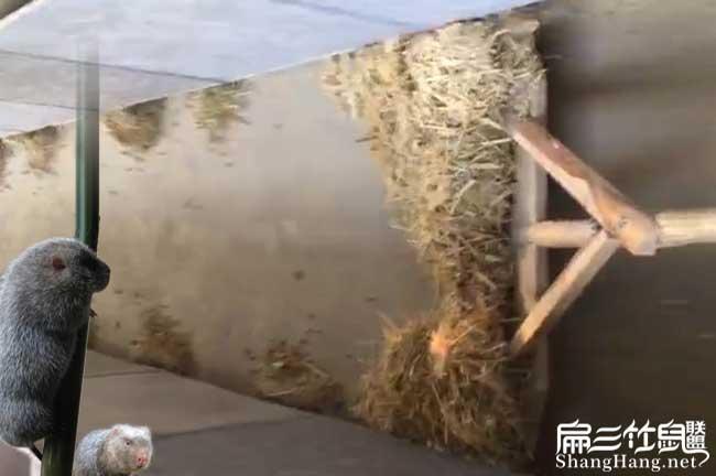 竹鼠养殖卫生管理