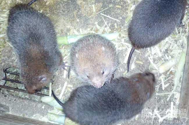 竹鼠养殖基地