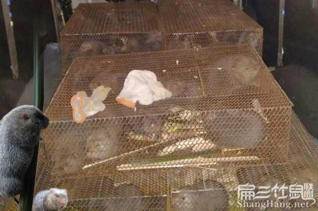 竹鼠食物配方培训