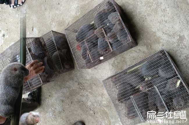 广东卖竹鼠种苗