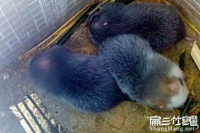 西藏规模养殖竹鼠