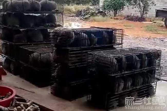 竹鼠种苗价钱