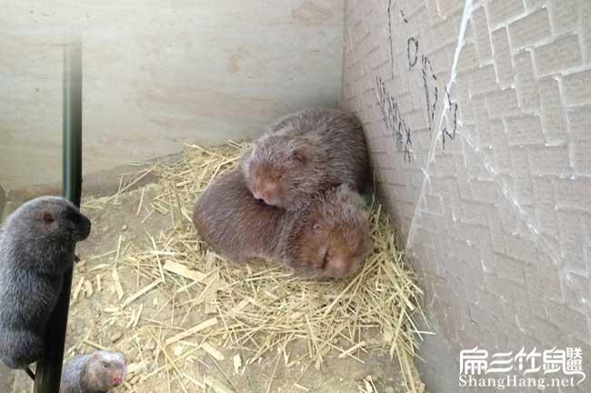 黑龙江竹鼠养殖基地