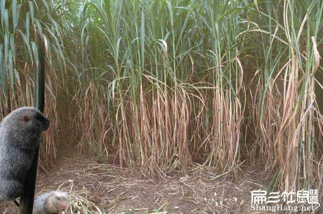 皇竹草种节