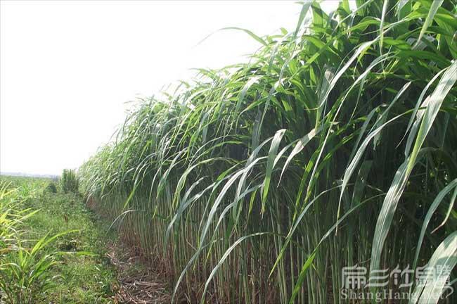 新型皇竹草种节