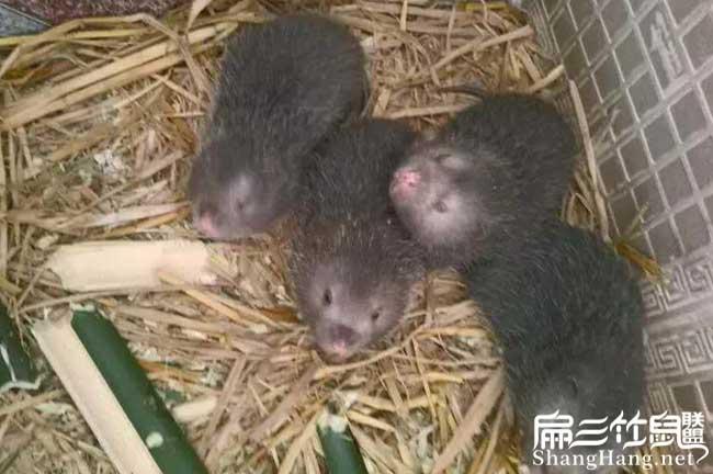 中国竹鼠场