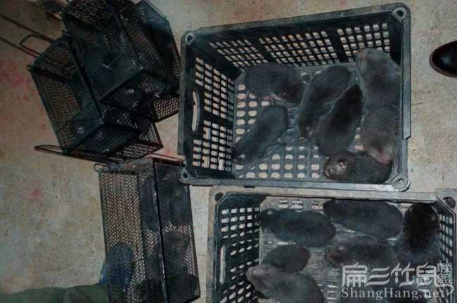 规模养殖竹鼠食物