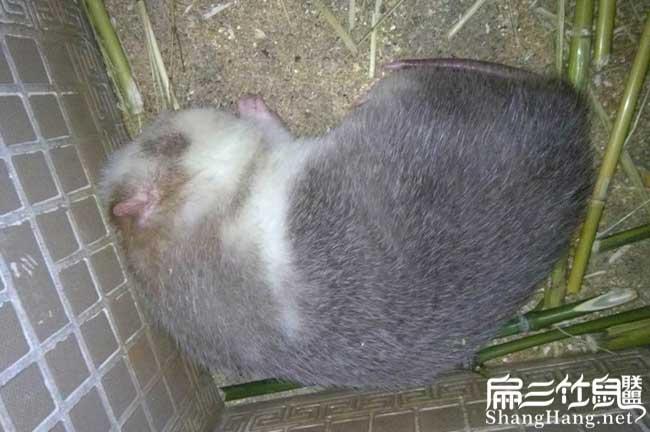 竹鼠规模养殖