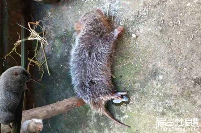 死竹鼠的经验
