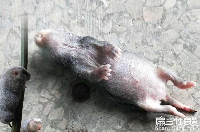 小竹鼠死了