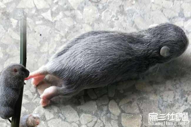 小竹鼠突然死掉