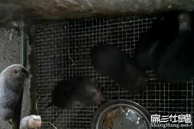 竹鼠养殖分析