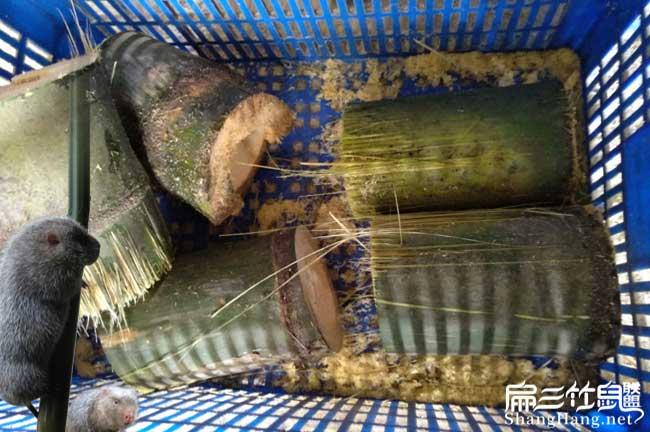 竹鼠肠炎食物
